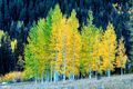 Aspen Thicket print