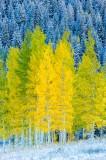 trees, snow, fall, aspens, colorado