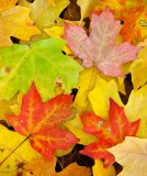 maples, fall, leaves, georgia