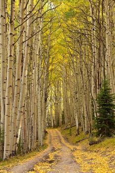 aspens,leaves,fall,colorado