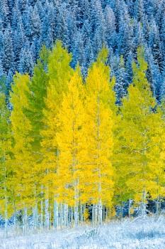 trees, snow, fall, aspens, colorado,