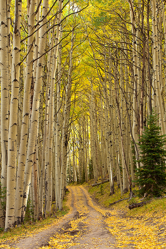 aspens,leaves,fall,colorado, photo