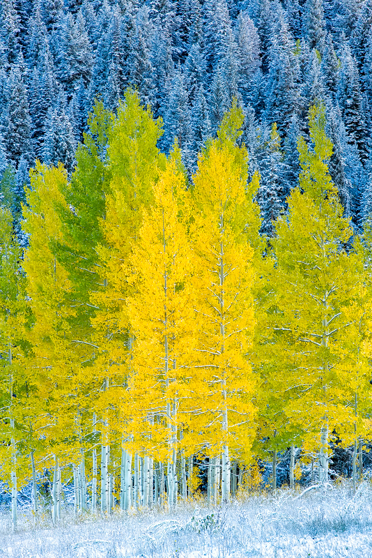 trees, snow, fall, aspens, colorado,, photo