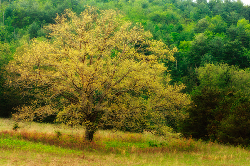 This is a tree in Cades Cove that my wife calls the perfect tree. She always says it is her favorite tree and that she...
